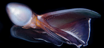 Mike Bartick: Blanket Octopus Photo