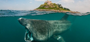 Basking sharks return to British waters Photo