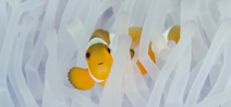 Anemone fish use more energy when host anemone bleaches Photo