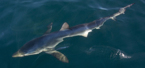 Great White Sharks feed on whale carcass: Video Photo
