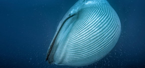 How blue whales became the largest animals to ever live on earth Photo
