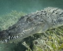 Chinchorro Crocodile Encounters by Don Silcock Photo