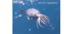 Huge squid filmed off Russian fishing vessel Photo