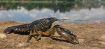 A crayfish from the American south is cloning itself and taking over Europe Photo