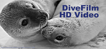 DiveFilm Podcast: Weddell seals Photo