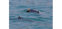 "Male dolphins present ""gifts"" to potential mates Photo"