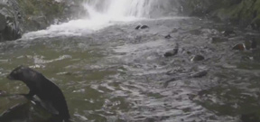 Video: Fur seal pups frolicking in waterfall Photo
