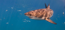 Federal government denies protection to great white sharks Photo