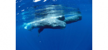 Scientists track sperm whales based on dialects Photo