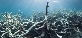 Severe bleaching episode on the Barrier Reef Photo