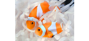 Image: Giacomo Marchione's Clownfish Photo