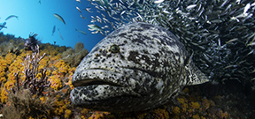 Help Protect Florida Giant Groupers by Walt Stearns Photo