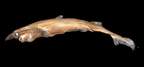 New species of shark glows in the dark Photo