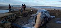 Beached Gray whale survives 3 days in Mexico Photo