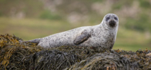 Video: Scottish grey seal freed from fishing line Photo