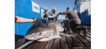 Great White Shark tagged off South Carolina last year shows up in Gulf of Mexico Photo