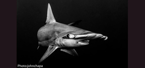 Image: Hammerhead by John Chapa Photo