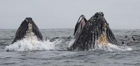 Anchovies bring Humpbacks to Monterey Bay Photo
