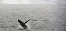 Pregnant humpback whales surge near Antarctica Photo