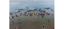 Volunteers save beached sperm whales in Indonesia Photo