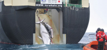 Japan slaughters 122 pregnant minke whales Photo