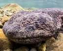 Article: Japanese Giant Salamanders by Don Silcock Photo