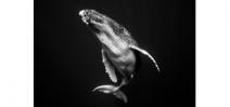 A black and white series of humpback whales by Jem Cresswell Photo