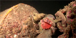 Behavior video: Lionfish vs giant frogfish Photo