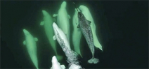 Lone narwhal adopted by beluga pod in St. Lawrence River Photo