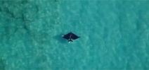 Potential new species of manta ray spotted off Palm Beach Florida Photo
