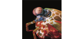 In a new study scientists admit there is a lot to learn about mantis shrimp vision systems Photo