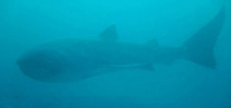 Megamouth shark filmed in Komodo Photo