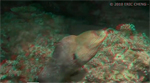 Moray Eel hunting at night in 3D Photo