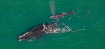 Bad breeding season sees no new calves for Northern Atlantic Right Whales Photo