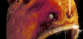 Norbert Wu's Favorite Images: Deep Sea Anglerfish Photo