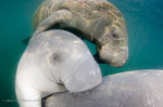 Milder weather is good news for manatees Photo