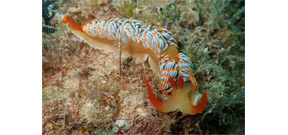 Here's your chance to name a new species of nudibranch Photo