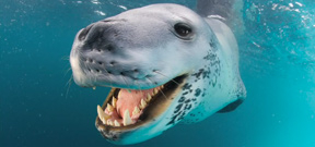 NG photographer Paul Nicklen and the leopard seal Photo