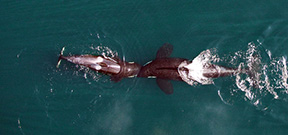 NOAA uses drone to study orcas Photo