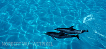 Norbert Wu's Favorite Images: Spotted Dolphins, Bahama Banks Photo