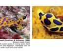 Book Review: Nudibranch and Sea Slug Identification - Indo-Pacific Photo