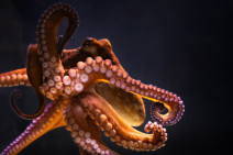 Ze Frank's True Facts about the Octopus Photo
