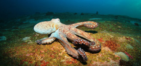Video: Wild Oceans Octopus Photo