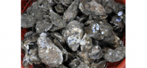 The world's largest man-made oyster bed could save the Chesapeake Bay Photo