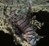 Invasive Lionfish in Florida Photo