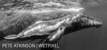 Photographing humpback whales in Tonga: Pete Atkinson Photo
