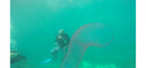 Video: Diving with a giant pyrosome Photo