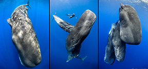 Late Availability: Dominica Sperm Whales with Keri Wilk Photo