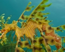 Don Silcock: The Incredible Leafy Seadragon Photo