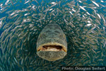 Petition: continue to protect goliath groupers Photo